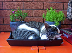 Coffee Tray Cat (End of Level Boss) Tags: sleeping pet cats cute coffee cat kitten feline nap sleep pussy sydney adorable australia kittens 2006 100v10f sleepingcat explore sleepy domestic nsw snooze tray napping  gatti   snoozing arnotts  foofoo interestiness cotcmostfavorited instantfave kogarah cc200 cc100  bestofcats camfnov boc1106 anawesomeshot impressedbeauty cat1300 gggcomf 100comment catnipaddicts