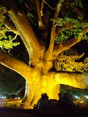 Platanus orientalis / Dou nar (596-....) (melasmus) Tags: people nature night plane sycamore bursa planetree tbg platanusorientalis melasmus theinterestingest nar dounar thebiggestgruop nkaya fotorafkraathanesi