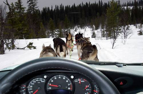 sled dogs pull car