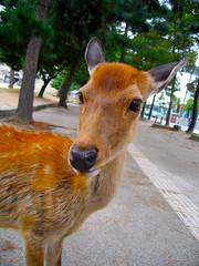 Boku no tomodachi (xopherlance) Tags: travel japan geotagged deer  nara shika wetnose doeeyed honsh vogonpoetry geo:lat=34686678 geo:lon=135837643