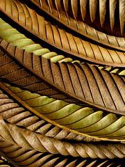 dillenia (*omnia*) Tags: brown topf25 leaves lines topv111 dead topf50 topv333 topf75 bravo decay dry dried linear drying dillenia elephantapple abigfave