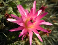 Eriosyce subgibbosa var. nigrihorrida (Spiniflores) Tags: eriosyce subgibbosa neoporteria nigrihorrida ja66
