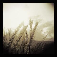 A Degree of Focus for a Splintered Mind (panic-embryo) Tags: bird topf25 sepia moody dream eerie dreamscape holgaesque wheatfield fairytalesdarkly