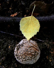 contact (ed ed) Tags: autumn mushroom yellow leaf 8 ground birch caress stillness lonelyobjectsgroup