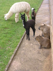 Alpaca and Capybara: both with young (skoop102) Tags: family england baby alpaca animals giant children zoo parents guineapig cavy rodent babies young llama breeding capybara alpacas youngsters twycross twycrosszoo capybaras giantrodent giantguineapig bigguineapig