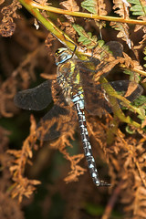 "Migrant Hawker Dragonfly (Aeshna mixta) • <a style=""font-size:0.8em;"" href=""http://www.flickr.com/photos/57024565@N00/253297104/"" target=""_blank"">View on Flickr</a>"