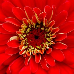 Zinnia (macropoulos) Tags: red flower topf50 500v20f topv999 center 500v50f zinnia 1000v100f excellence naturesfinest canonpowershots45 topvaa supershot 1500v60f 1000v40f flowerotica specnature 1on1flowers gtaggroup fantasticflower 3000v120f superaplus aplusphoto 50faves50comments500views diamondclassphotographer macrophotosnolimits platinumheartaward macromarvels