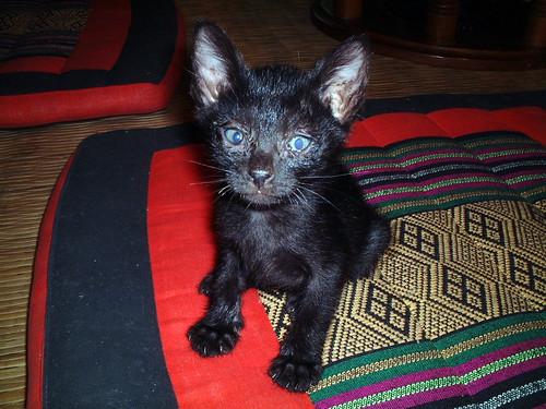 泰國藍眼黑貓
