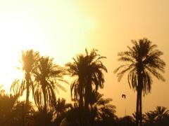 sunrise on palms (aZ-Saudi) Tags: sunrise palms arabic oasis saudi arabia ksa alhasa   arabin arabs