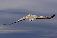 Australasian Gannet in Flight (Bob Marshall 1) Tags: new bird birds flying bravo flight zealand australasian gannet morusserrator morus serrator australiangannet interestingness70 i500 specanimal animalkingdomelite