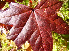 Red Maple Leaf of fall (JAMES HALLROBINSON) Tags: usa sunlight lake reflection fall nature water colors rural forest woods decay kentucky seasonal 2006 fungi nevin bernheim