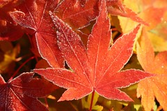 Frosted Maple Leaves (Kev Bailey) Tags: tree leaves ilovenature frost japanesemaple acerpalmatum kevinbailey