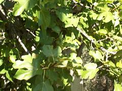late figs (ewheeling) Tags: mediterranean figs