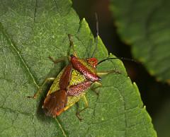 "Hawthorn shieldbug (Acanthosoma haemorrhoidale) 'Stink bug' • <a style=""font-size:0.8em;"" href=""http://www.flickr.com/photos/57024565@N00/265037057/"" target=""_blank"">View on Flickr</a>"