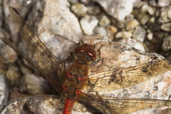 """Common Darter Dragonfly (Sympetrum st(1) • <a style=""""font-size:0.8em;"""" href=""""http://www.flickr.com/photos/57024565@N00/265174478/"""" target=""""_blank"""">View on Flickr</a>"""