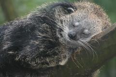 Rock-a-by-baby (Digitally Angelic) Tags: mammal bearcat binturong asianbearcat arctictisbinturong aquazoo beermarter malaycivetcat palawanbearcat marderbr bintoerong