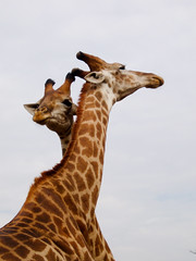 (joaquinportela) Tags: africa wild naturaleza nature topf25 animal topv111 ilovenature topv555 topv333 wildlife topv444 natura topv