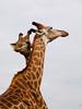 (joaquinportela) Tags: africa wild naturaleza nature topf25 animal topv111 ilovenature topv555 topv333 wildlife topv444 natura topv222 topc100 animales giraffe senegal bandia jirafa iloveit 555v5f 333v3f 222v2f 444v4f 111v1f animalkingdomelite 1on1naturephotooftheday mapsenegal