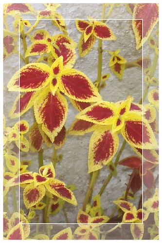 Coleus on Stucco Wall