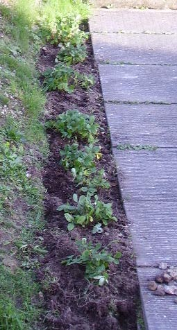 big strawberry plants