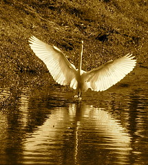The Wings of Isis (alfuso) Tags: sepia wings egret wadingbirds whitebirds featheryfriday instantfave largebirds aquaticbirds eaasternnorthamericanature blinkagain