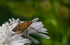 Beetle on daisy (markbev99) Tags: macro flowers insects beetles dandelion seeds small garden