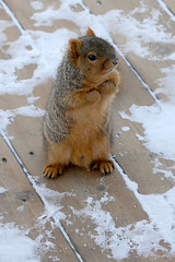 Please Mister (James Marvin Phelps) Tags: life urban cute nature animal photography james rodent furry backyard squirrel wildlife sciences phelps vie cureuil faune abigfave mandj98 impressedbeauty