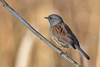 DSC_7334 Heckenbraunelle (Charli 49) Tags: charli nature naturfotografie tier animal vogel bird heckenbraunelle wildlife naturschutzgebiet schilf nikon d7200 tamron 150600