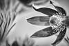 like a dark sun (Tomsch) Tags: blume flower kuhschelle nature natur flora garten garden closeup nahaufnahme macro makro blackandwhite schwarzweiss blackwhite
