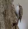 Munch (rdroniuk) Tags: birds passerines smallbirds browncreeper certhiaamericana oiseaux passereaux grimpereaubrun