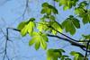 New born chestnut leaves (Sockenhummel) Tags: blätter volksparkwilmersdorf kastanie chestnut leaves green sky new kastanienblätter aesculushippocastanum fuji xt10