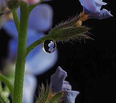 Forget-me-not Drop (Smiffy'37) Tags: macrolens forgetmenots flowers nature waterdrops