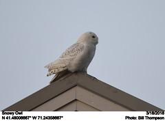 Snowy Owl (Bill.Thompson) Tags: snowyowl nycteascandiaca sachuestpointnationalwildliferefuge middletown ri birds