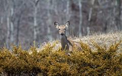 A Deer Friend (sarasonntag) Tags: terry andrae state park sheboygan wisconsin hike hiking deer doe outdoor spring april 2018