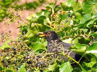 Blackbird, male