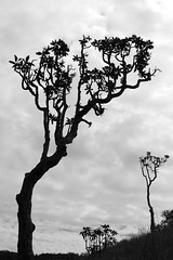 Horton Plains (Paula Richards) Tags: blackandwhite monochrome srilanka hortonplains tree