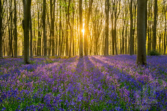Micheldever bluebells (LongLensPhotography.co.uk - Daugirdas Tomas Racys) Tags: april england hampshire beauty bloom blossom bluebell bluebells carpet dawn early field flower flowers hyacinth morning nature spring sun sunrise trees woods