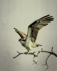 Take-off (mtmelody14) Tags: osprey