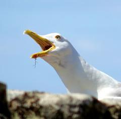 Having a say (Jaedde & Sis) Tags: seagull gull loud noise beak open