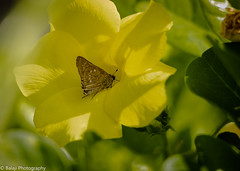 Butterfly on Flower - black branded swift (Balaji Photography - 5 M views and Growing) Tags: butterfly insect yellow green garden butterflyonflower canondslr canon70d chennai porur madanandapuram