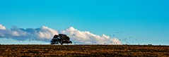 Caldén - Prosopis caldenia  -   Patagonia Argentina (maríaelenalópez) Tags: caldén prosopiscaldenia argentina patagonia nikon 7200 1801400 planicie aves birds sky clouds countryside landscape