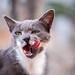 GreyWhite cat