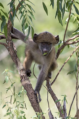 Baboon In Its Element (ImagesOfTheWild) Tags: africa kruger krugernationalpark southafrica adolescent baboon mammal nature wild wildlife young chacma papio ursinus