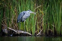 Grey Heron (Photography - KG's) Tags: rspb wildlife nature bird birds animals reserve brandonmarsh greyheron