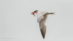 Caspian Tern (Bob Gunderson) Tags: aerialwaterbirds birds california caspiantern crissyfield hydroprognecaspia northerncalifornia presidio sanfrancisco terns