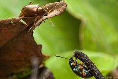 Friends (Eumolpinae) (elisa_vg) Tags: nature chrysomelidae chrysomeloidea eumolpinae eumolpini bug inseto beetle besouro insect alagoasa coleoptera coleóptero polyphaga cucujiformia leafbeetle flea macro macrophotography macrofotografia canoneosmarkii canon