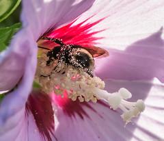 Rewards of work.. (Omygodtom) Tags: existinglight elitebugs bumblebee macro bokeh dof tamron90mm tamron natural nature nikon fleur