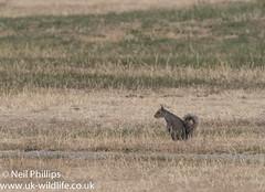 Grey squirrel (Neil Phillips) Tags: caniformia mammalia pinnipedia pinnipedimorpha carnivora earles greyseal mammal pinniped seal sealsphocidae true