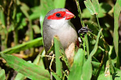 Common Waxbill (Jays and Jets) Tags: bird birds animal animals waxbill commonwaxbill hawaii diamondhead colorful grass