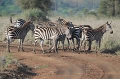 Plains zebras (Equus quagga) crossing the track in the morning light at Nairobi National Park, Kenya (f.martin63) Tags: kenya prairie grassland herbe grass faune fauna africaine africain african afrique africa mammal mammals mammifères mammifère nairobi national natural naturel naturelle nature park parc reserve réserve savannah savane wild sauvage wilderness wildlife equus quagga zebra zebras zèbre zèbres track piste rayures rayure stripe stripes plains equid equids equidae équidé équidés tree trees arbre arbres forêt forest crinière mane